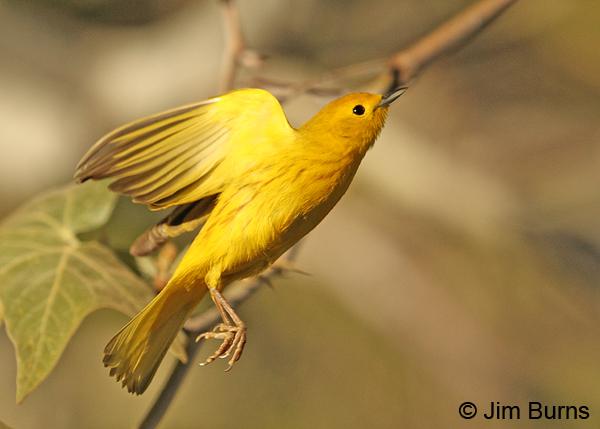 Yellow Warbler or Mangrove Warbler  OiseauxBirds