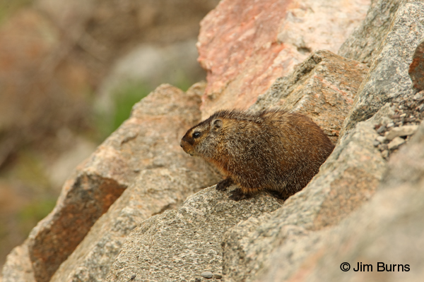 Yellow-bellied Marmot at den