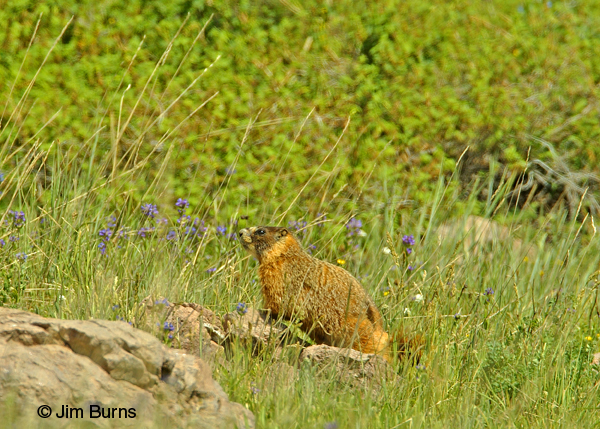 Yellow-bellied Marmot in flowers