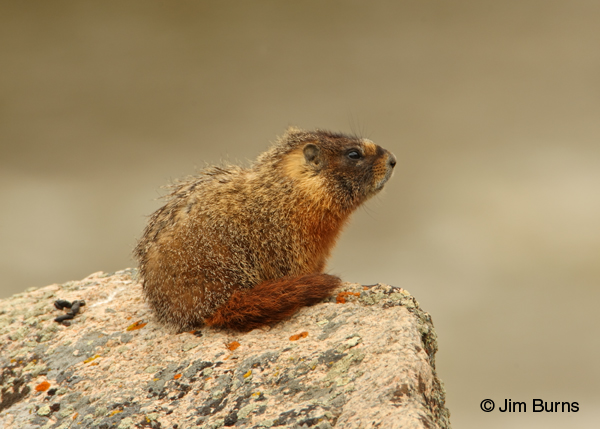 Yellow-bellied Marmot on lookout duty