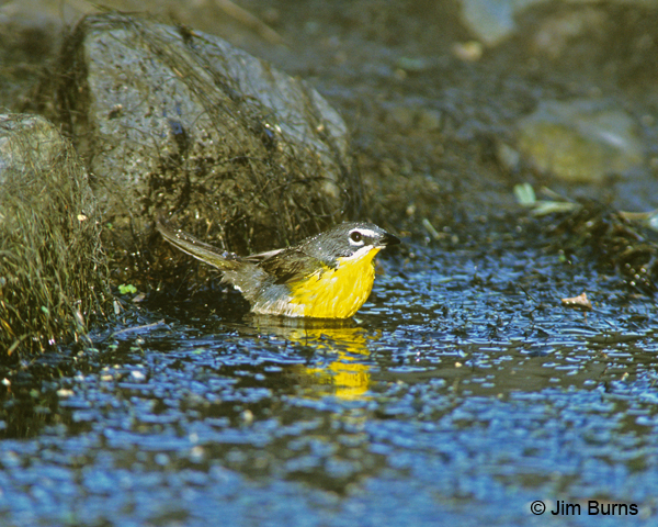 Yellow-breasted Chat bathing