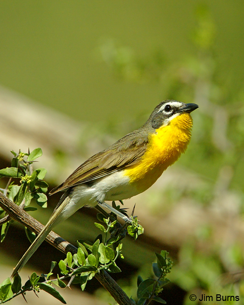 Yellow-breasted Chat singing