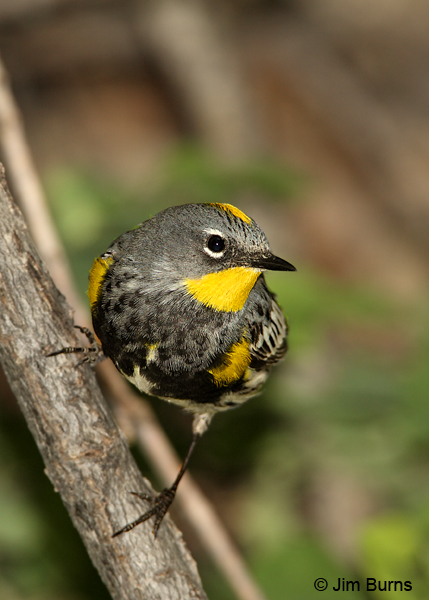 Yellow-rumped Warbler (Audubon's) male