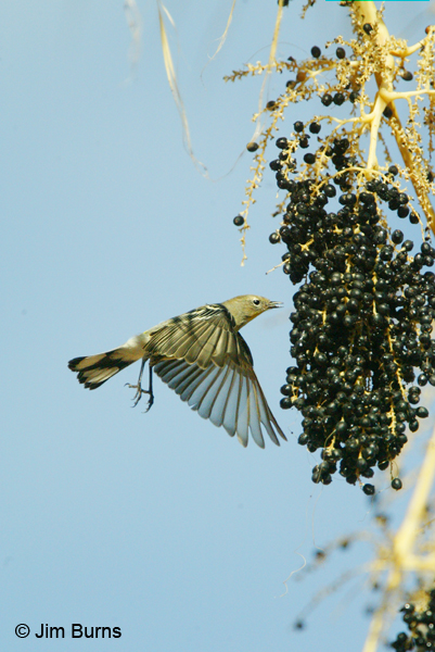 Yellow-rumped Warbler (Audubon's) hover plucking dates