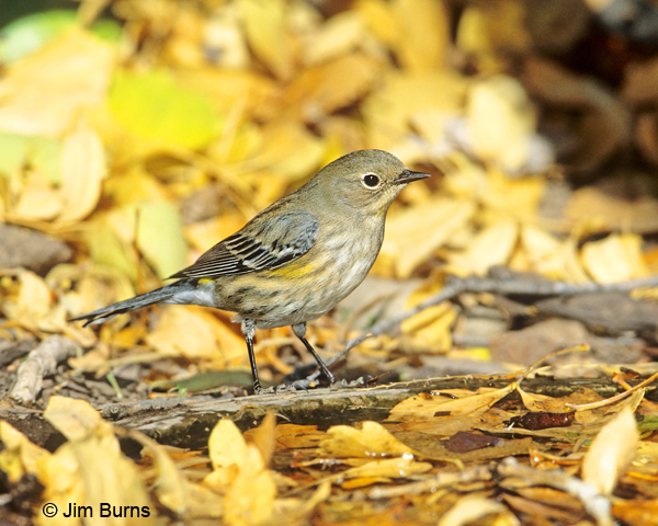 Yellow-rumped Warbler (Audubon's) first fall female