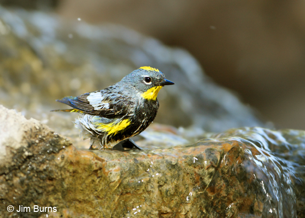 Yellow-rumped Warbler (Audubon's) male bathing