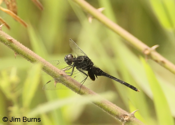 Black Pondhawk male, Cano Negro, CR, May 2012