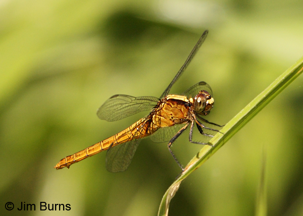 Flame-tailed Pondhawk female, Solimar, C.R., December 2013
