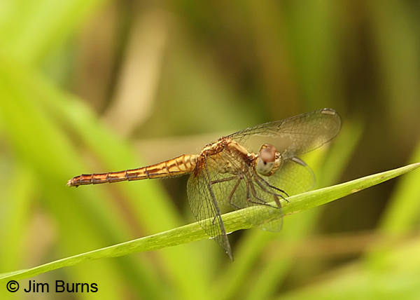 Red-faced Dragonlet female, Cano Negro, CR, May 2012