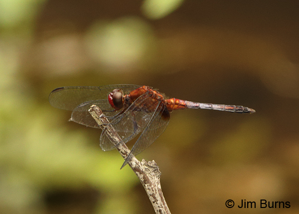 Red-faced Dragonlet male, Turrialba, CR, August 2014