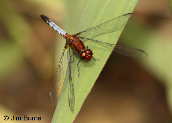 Red-faced Dragonlet male, Bijagua, CR, December 2013