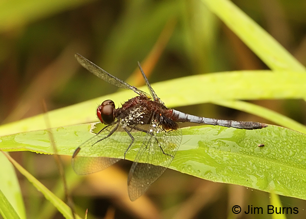 Red-faced Dragonlet male, Cano Negro, CR, May 2012