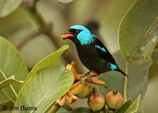 Scarlet-thighed Dacnis male with fruit