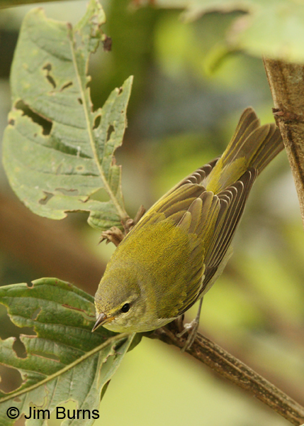 Tennessee Warbler dorsal view