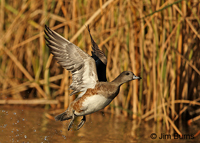 American Wigeon female taking off