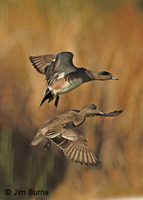 American Wigeon pair over marsh