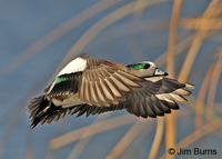American Wigeon male in flight