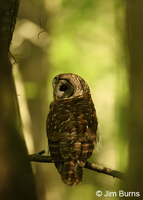 Barred Owl first light