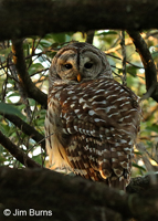Barred Owl framed on daytime roost