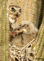 Great Horned Owl feeding babies