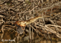 Least Bittern juvenile in flight