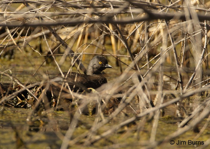 Least Grebe female on nest