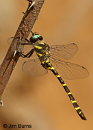 Apache Spiketail