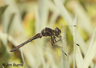 Black Meadowhawk