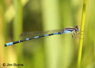 Little Bluet