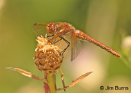 Red-veined Meadowhawk