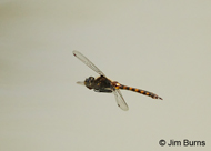 Slender Baskettail