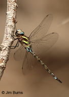 Turquoise-tipped Darner