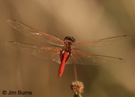 Vermilion Saddlebags